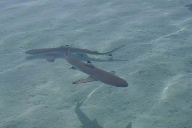 Haaien in ondiep water