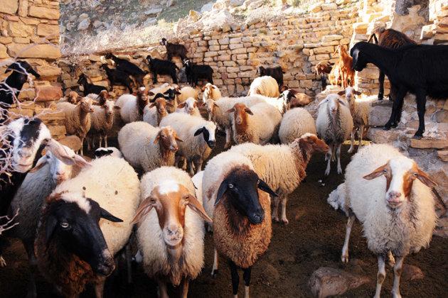 Schapen van berbers