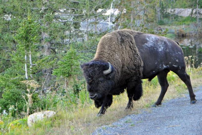 Een bizonstier
