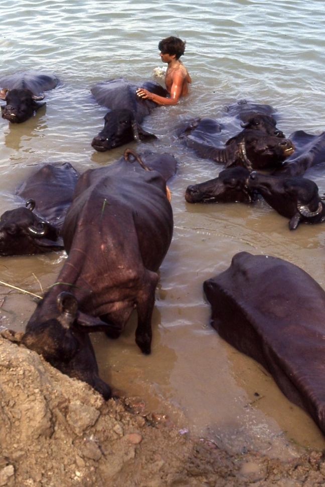 Koeien wassen