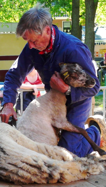 schapenscheerder