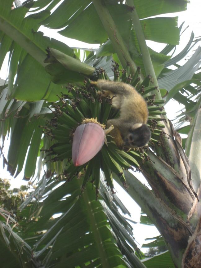 Aapje in bananenboom
