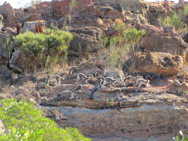 Familie ringstaart lemuren in Isalo National Parc