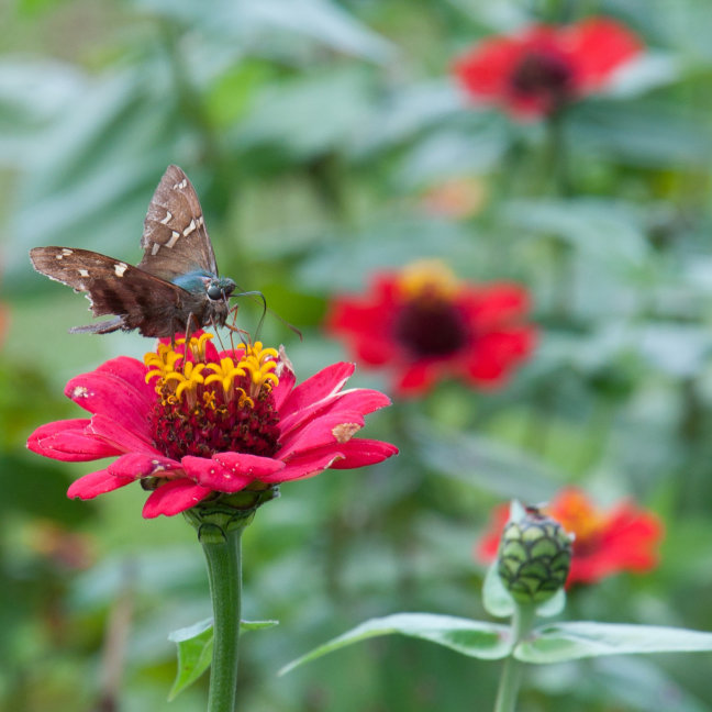 Vlinder op rode bloem