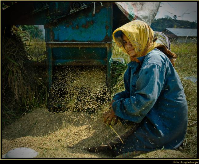 Werk in de rijstoogst