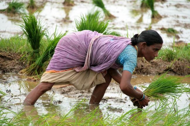 vrouw aan het rijstplanten