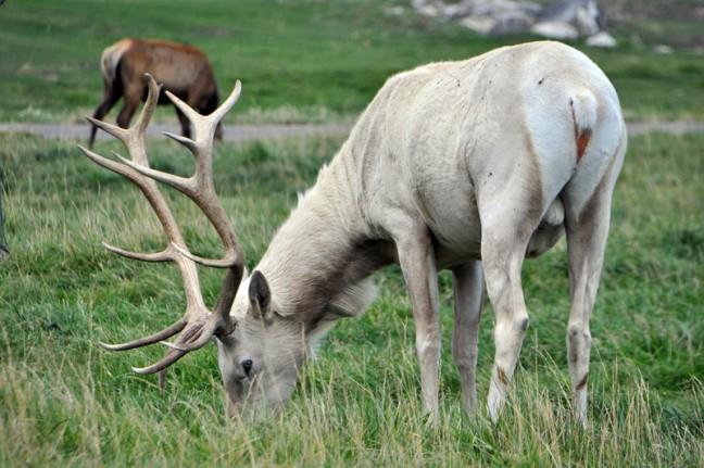 Albino Elk en op de achtergrond een normale Elk