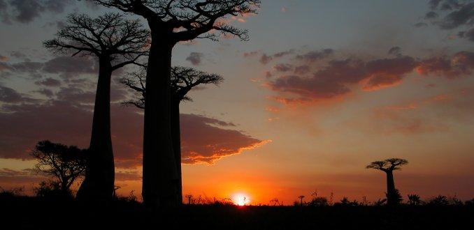Avenue de Baobabs