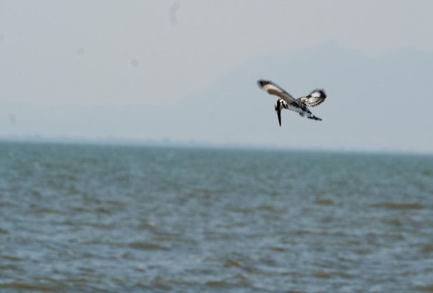 Vissende bonte Ijsvogel