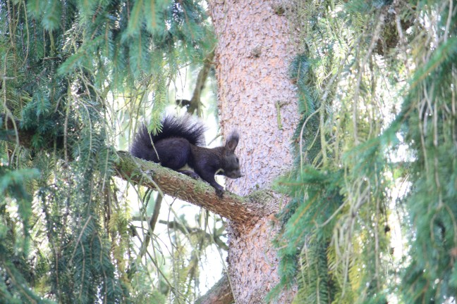 Eekhoorn verstopt zich op tak