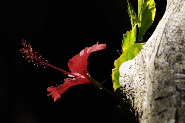 Bloem (hibiscus)