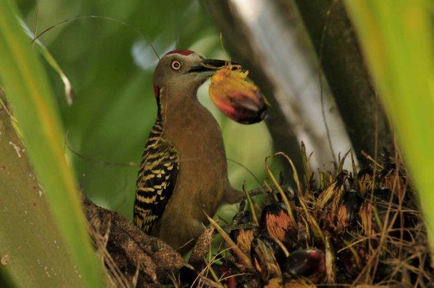 Palm specht(Hispaniola specht)