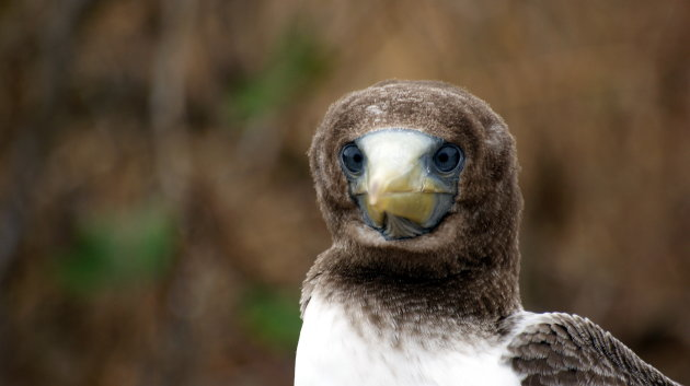 Blue Footed Boody