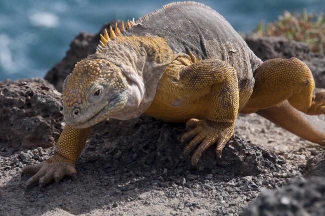Landleguaan op de galapagos eilanden