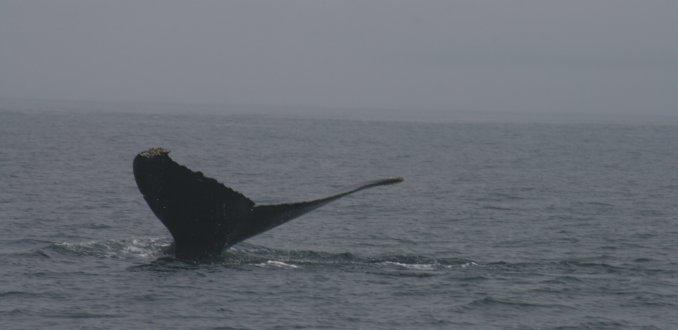 walvis bijna boven water