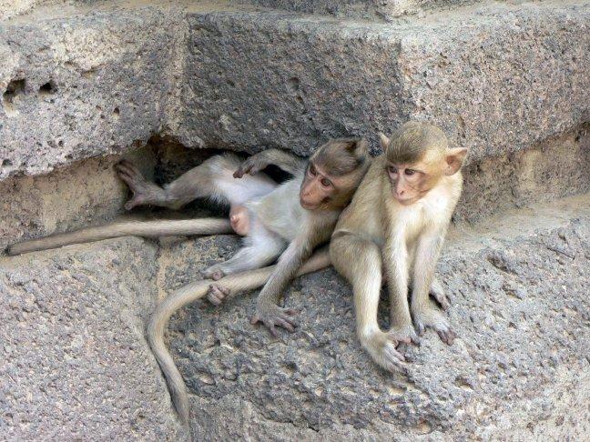Apentempel  in Lopburi