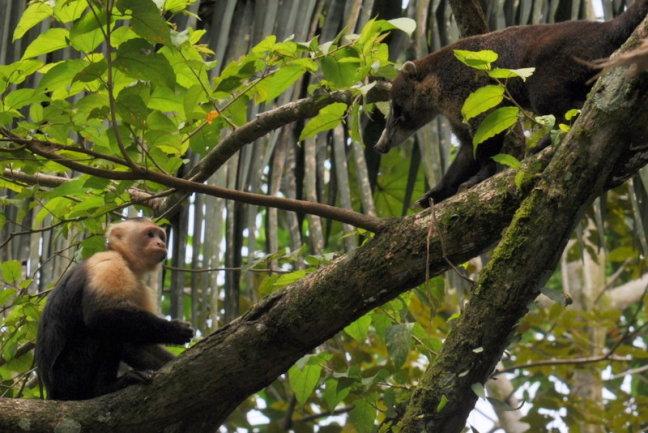 Bijzondere ontmoeting tussen neusbeer en aap.