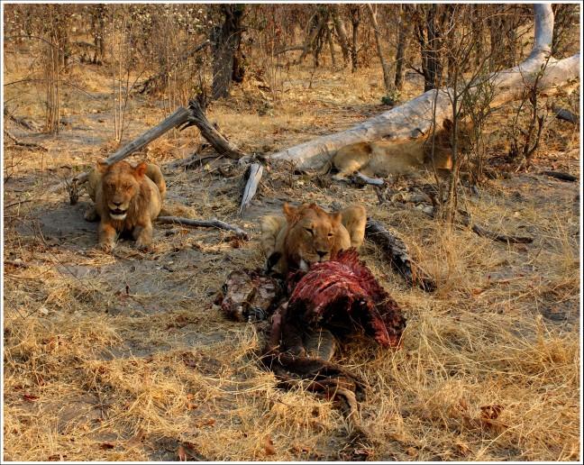Leeuwen met zebra prooi