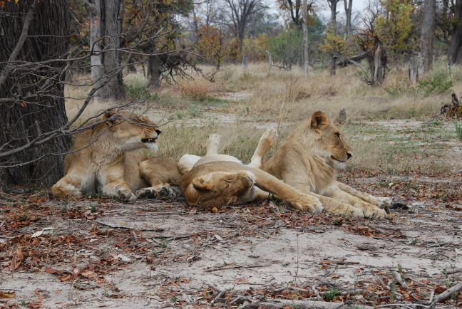 Luierende leeuwen