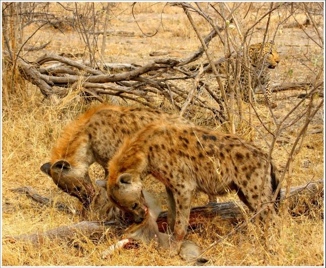 Hyena's en luipaard, de serie