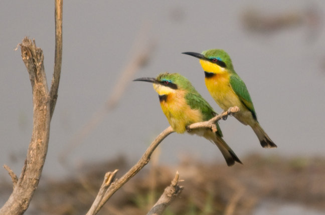 Little Bee-eaters in de boom