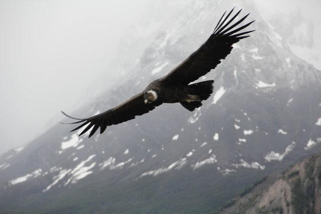 Condor in volle vlucht in Torres del Paine, Chili.