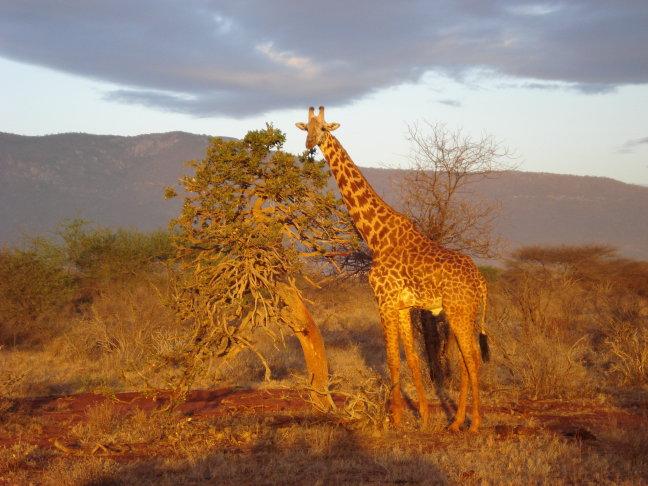 Tsavo National Park (East) Giraffe