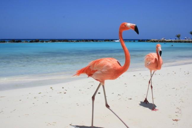 Flamingo's op privé-eiland van hotel Renaissance