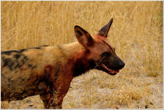 Wilde hond onder het bloed