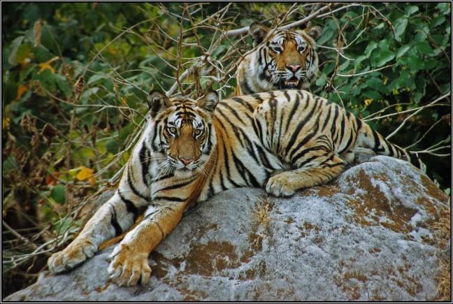 tijgers - oog in oog