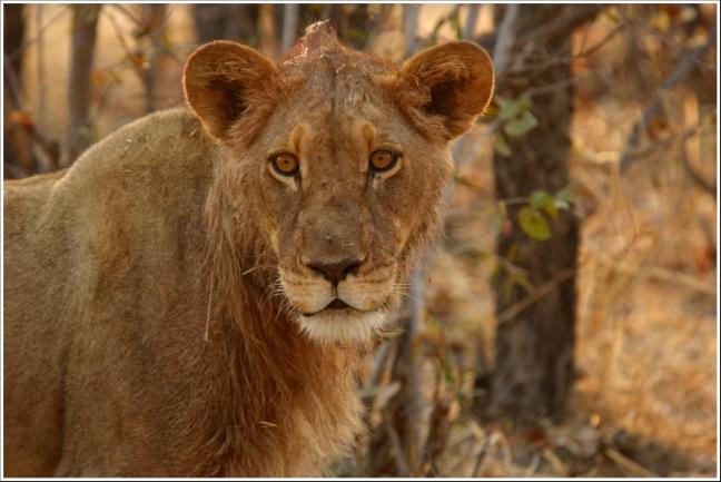 Kop van jonge leeuw