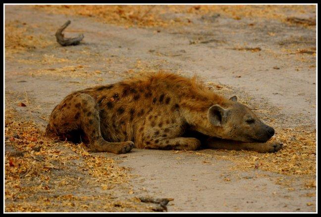 Pas op! Hyena op de weg!