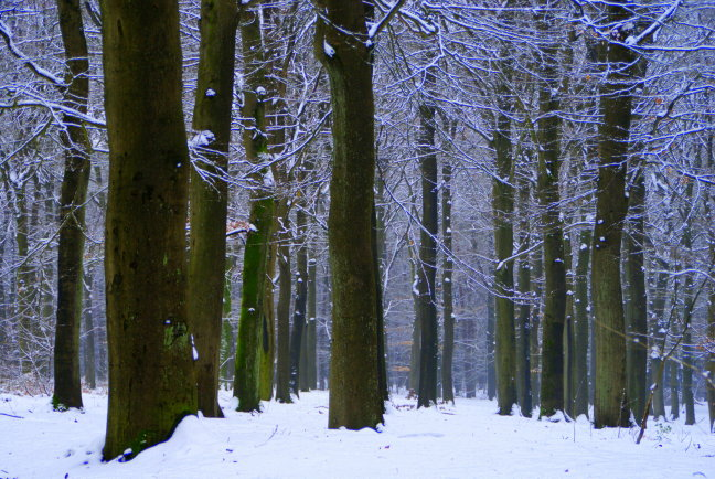 bos, bomen sneeuw