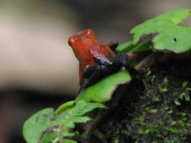 de red blue jeans frog
