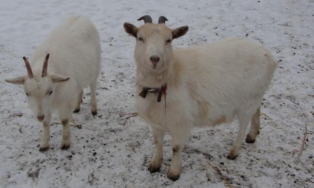 Schutkleur in de sneeuw