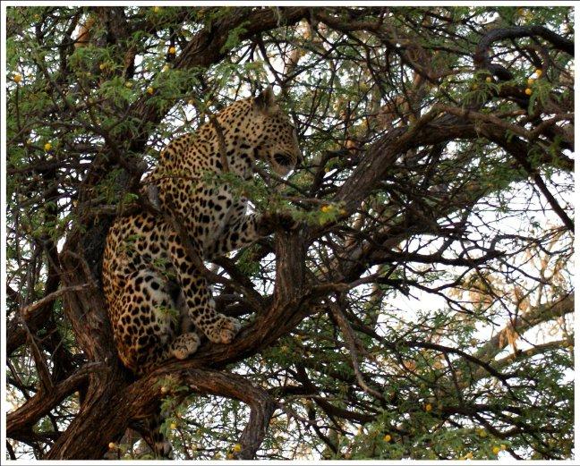 Zittend luipaard