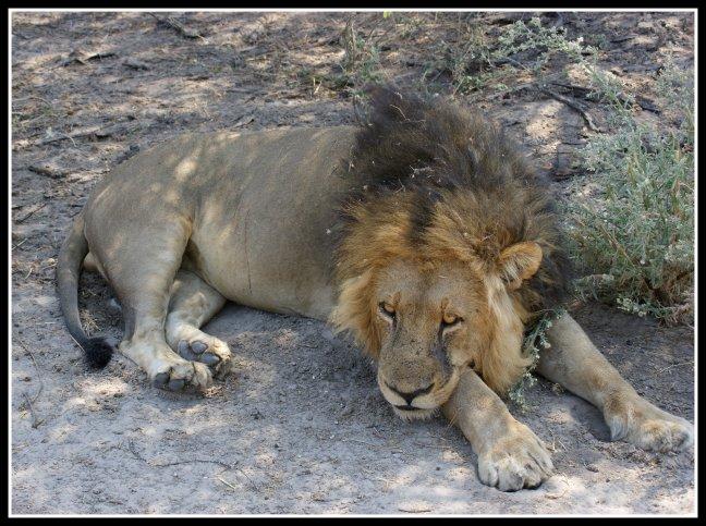 Luierende leeuw