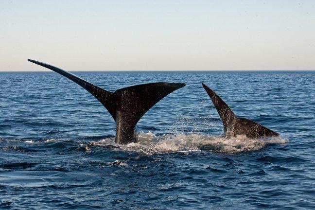 Twee walvisstaarten, zuidkapermoeder met kalf