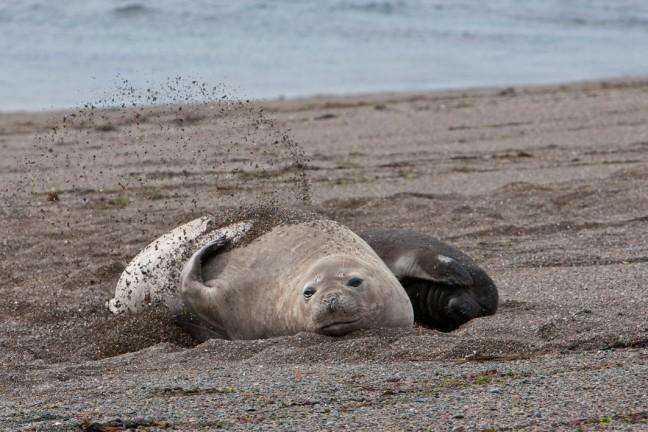 Moeder en baby zeeolifant