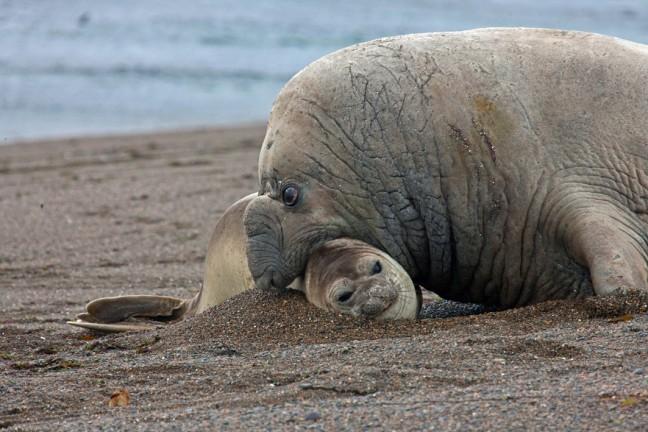 Zeeolifant beachmaster wil aan nageslacht werken