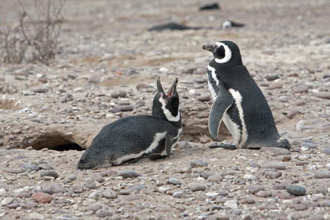 Magelhaenpinguins bij Cabo dos Bahias