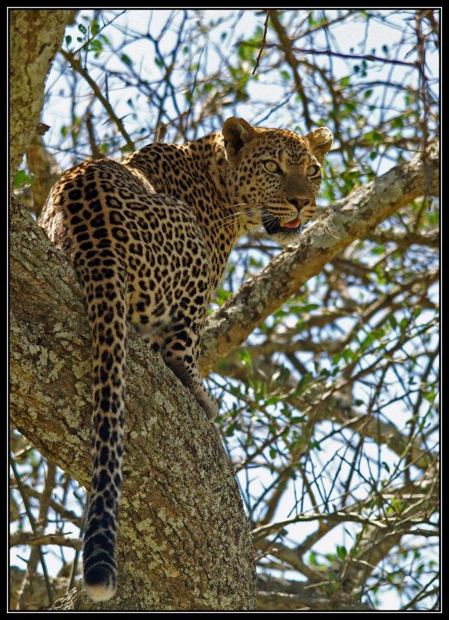 luipaard kijkt nog even om
