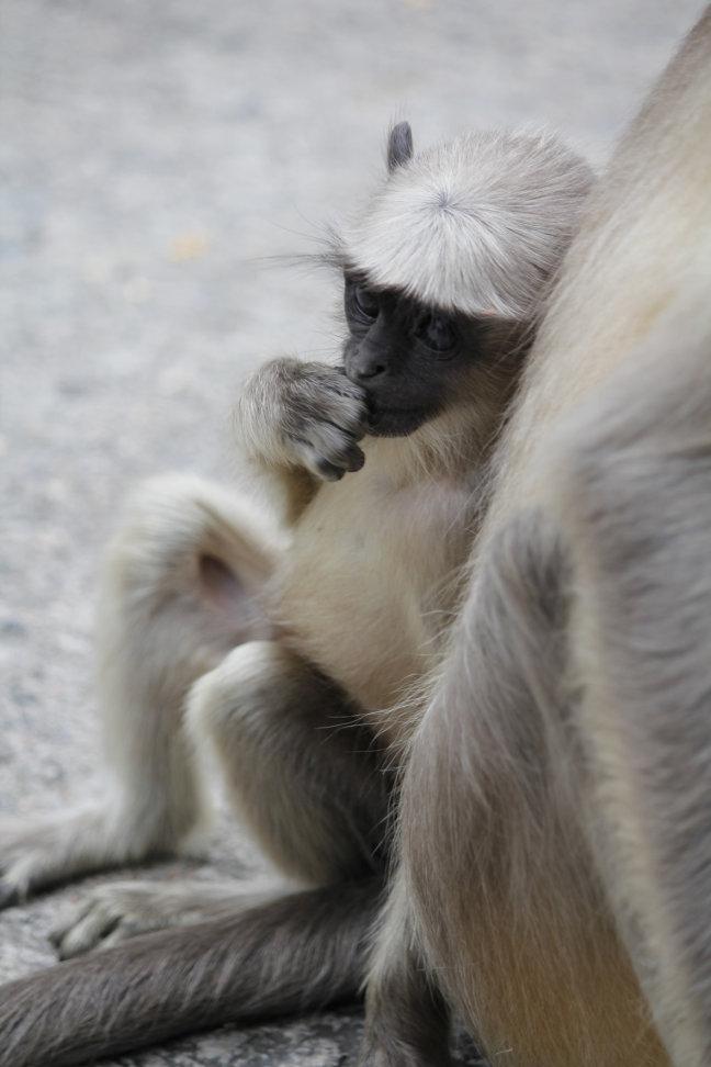 aapje bij de jaintempel in Ranakpur