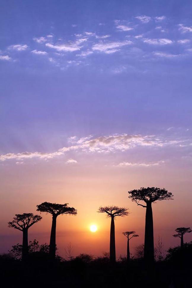Baobabs bij zonsopgang