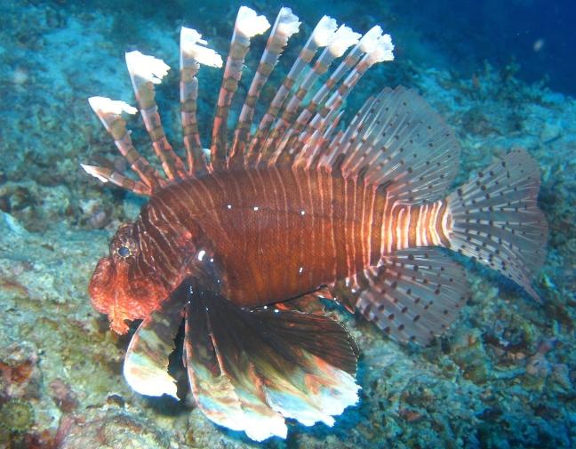 Dikke koraalduivel