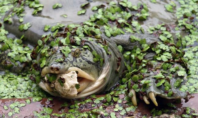 Indiase Schildpadden voeren