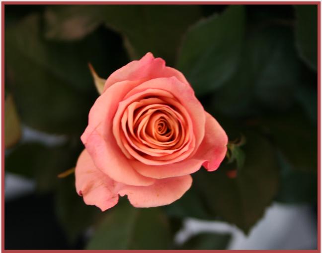 Mooie roos