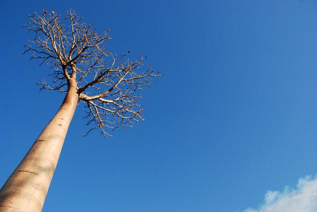 Avenue des Baobabs - Eenzame schoonheid