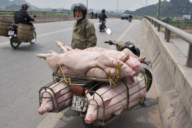Varkens achterop de brommer