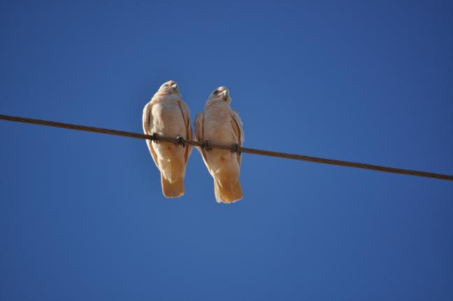 witte papagaaien